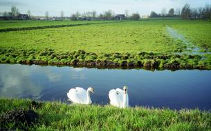 オランダの田舎で出会った二羽の白鳥の写真素材 [FYI00313118]