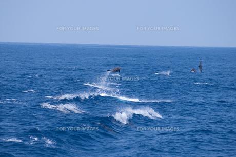 青い海を飛び跳ねるイルカの素材 [FYI00313190]
