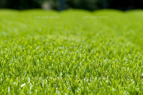 新緑の茶畑の素材 [FYI00313191]