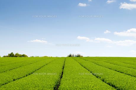 茶畑と青空の素材 [FYI00313196]