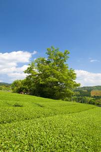 茶畑と青空と樹の素材 [FYI00313209]