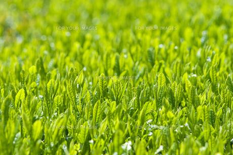 新緑の茶畑の素材 [FYI00313210]