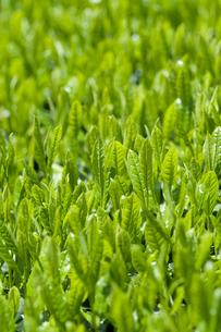 新緑の茶畑の素材 [FYI00313211]