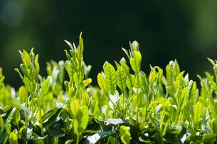 新緑の茶畑の素材 [FYI00313212]