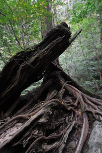 巨木と倒木の写真素材 [FYI00313230]