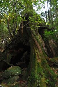 巨木と緑の写真素材 [FYI00313240]