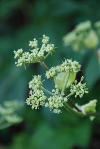 アシタバの花の写真素材 [FYI00313265]