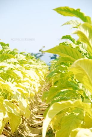 たばこ畑の写真素材 [FYI00313267]