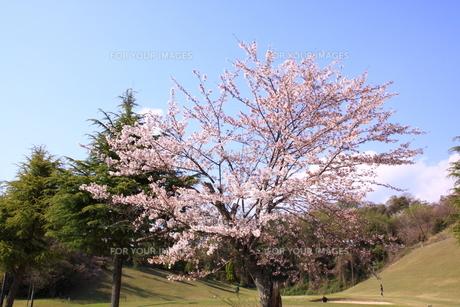 ゴルフ場の桜の写真素材 [FYI00313320]
