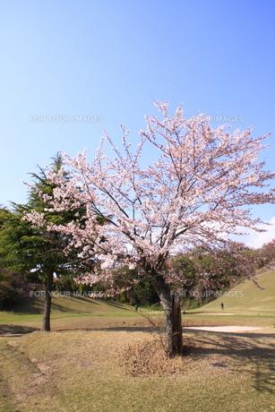ゴルフ場の桜の写真素材 [FYI00313326]