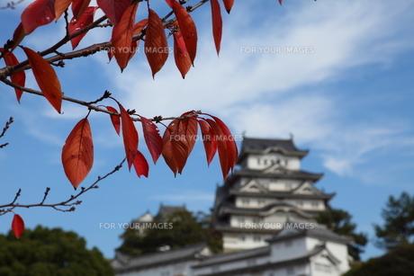 紅葉と姫路城の写真素材 [FYI00313349]