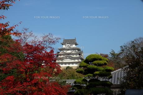 姫路城と紅葉の写真素材 [FYI00313360]