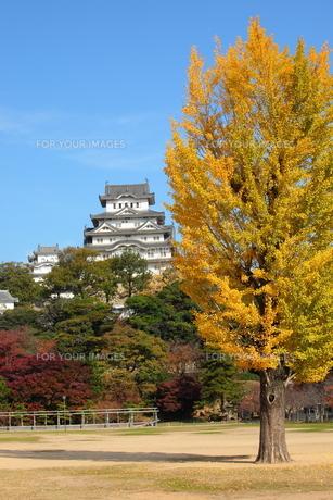 姫路城と銀杏の木の写真素材 [FYI00313374]