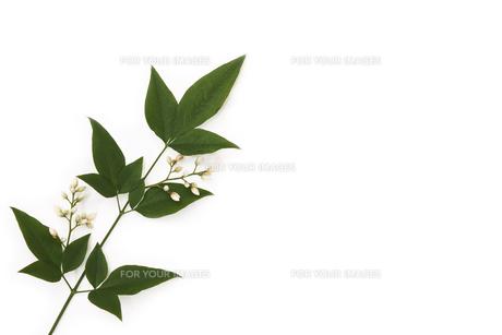 南天の葉に咲いた花の写真素材 [FYI00313440]