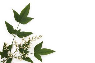 南天の葉と花の写真素材 [FYI00313443]