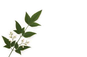 南天の葉に咲いた花の写真素材 [FYI00313446]