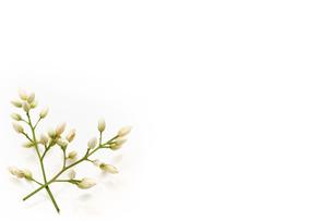 南天の花の写真素材 [FYI00313530]