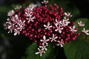 ボタンクサギの花の写真素材 [FYI00313589]