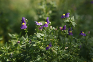 ネメシアの花の写真素材 [FYI00313592]