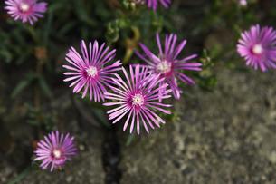 マツバギクの花の写真素材 [FYI00313606]