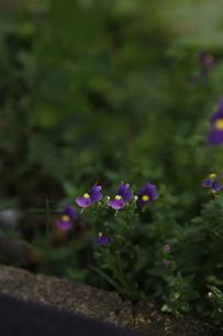 ネメシアの花の写真素材 [FYI00313607]
