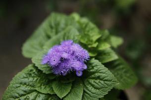 アゲラタムの花の写真素材 [FYI00313611]