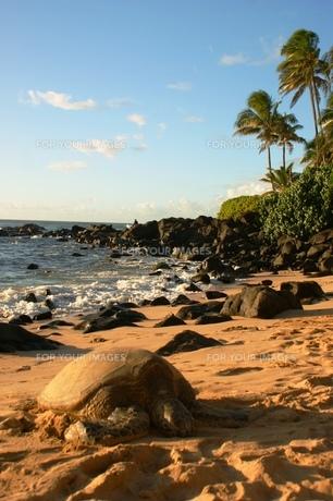 砂浜で休憩中のウミガメの写真素材 [FYI00313758]
