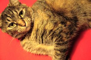 赤絨毯の上の猫の写真素材 [FYI00313971]
