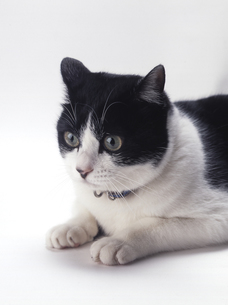 白黒の猫の写真素材 [FYI00313985]