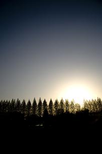メタセコイアの並木の素材 [FYI00314289]