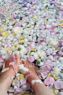 花びらが入った足湯の写真素材 [FYI00314463]