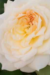 roseの写真素材 [FYI00314476]