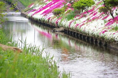 小川と芝桜の写真素材 [FYI00314488]