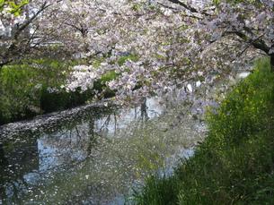 黒石川の桜の写真素材 [FYI00314494]