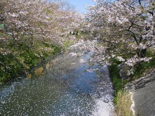 黒石川の桜の写真素材 [FYI00314507]