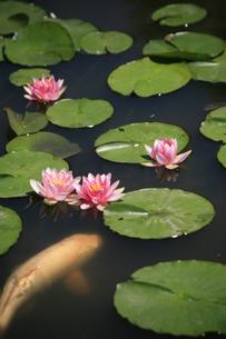 睡蓮の池の素材 [FYI00314520]