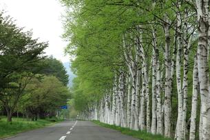 白樺並木の写真素材 [FYI00314601]