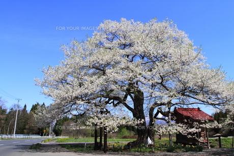 満開の弘法桜の素材 [FYI00314615]