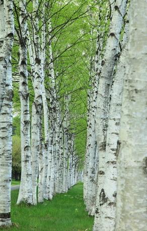 白樺並木の新緑の写真素材 [FYI00314620]