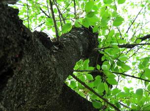 新緑の木の写真素材 [FYI00314661]