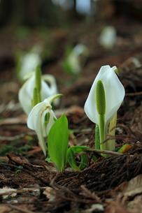 春を告げるの素材 [FYI00314667]