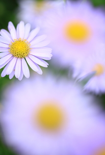 鮮やかに咲いての素材 [FYI00314711]