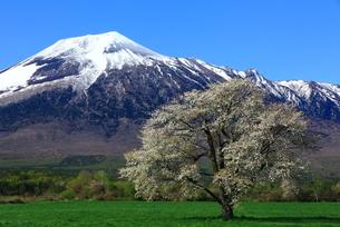 岩手山 上坊牧野の一本桜の写真素材 [FYI00314789]