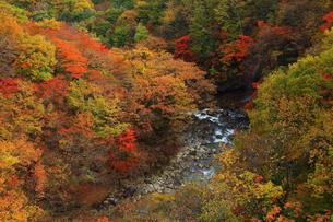 八幡平 紅葉の松川渓谷の写真素材 [FYI00314801]