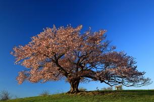宮古 亀ケ森の一本桜の素材 [FYI00314802]