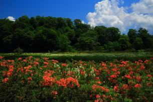 初夏の大沼 レンゲツツジの写真素材 [FYI00314844]