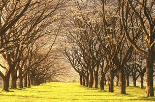 桜並木の朝の写真素材 [FYI00314868]