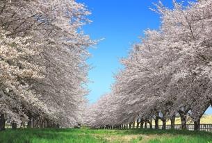 青空と桜並木の写真素材 [FYI00314870]