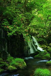 秋田県 元滝伏流水の山ツツジの写真素材 [FYI00314980]