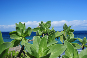 久高島のモンパの木の写真素材 [FYI00315475]